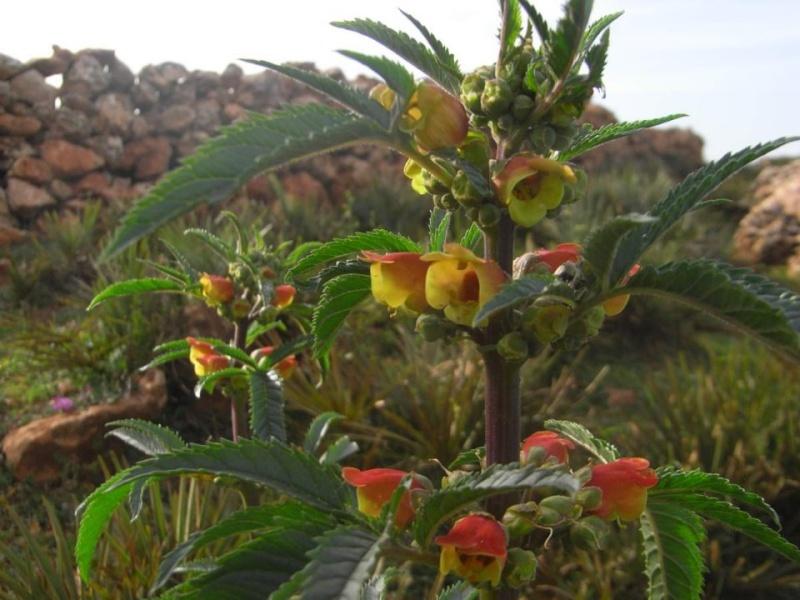 Maroc - flore de l'Atlas marocain Scroph11