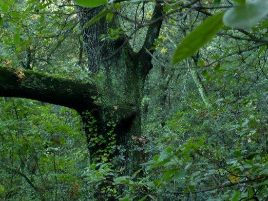 Quercus ilex - chêne vert Sous-b10
