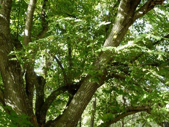 Les platanes et autres arbres vénérables chez Claire Tilleu10