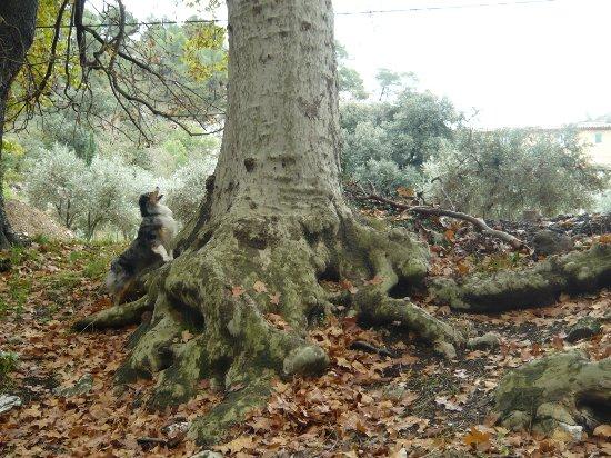 Les platanes et autres arbres vénérables chez Claire Verger12
