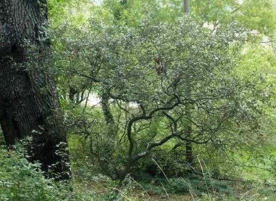 Quercus ilex - chêne vert Verger15
