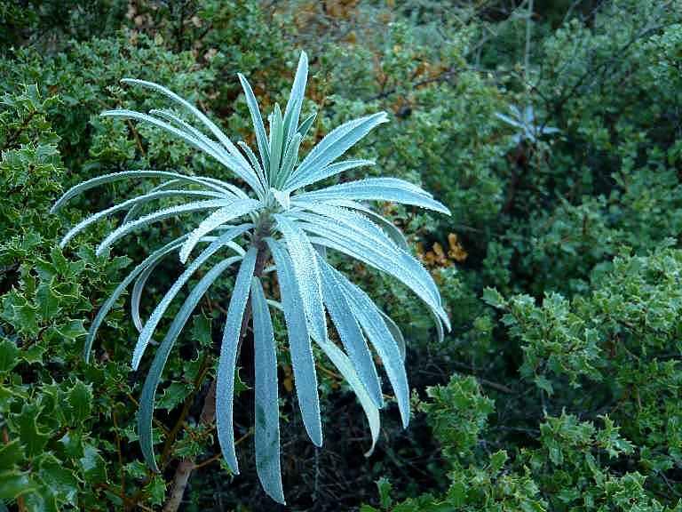 Euphorbia characias Verger17