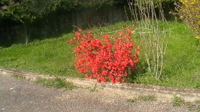 mon prunier sauvage en fleurs 10007010
