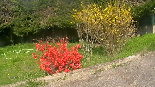 mon prunier sauvage en fleurs 13823710