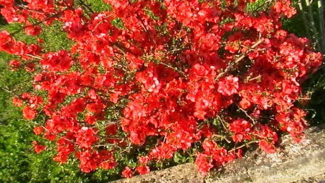 mon prunier sauvage en fleurs 14762310