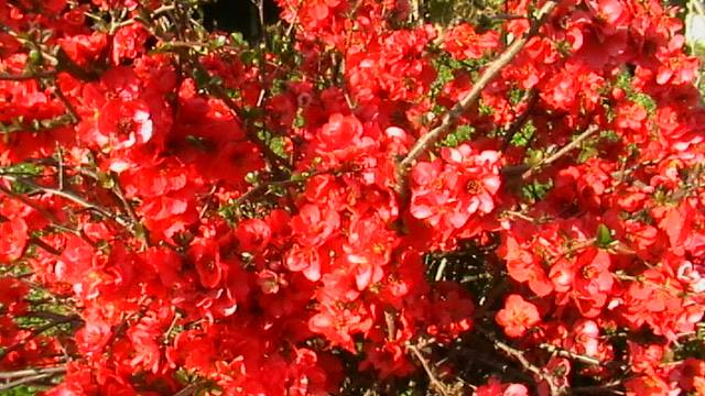 mon prunier sauvage en fleurs 19203210