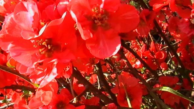 mon prunier sauvage en fleurs 19205810