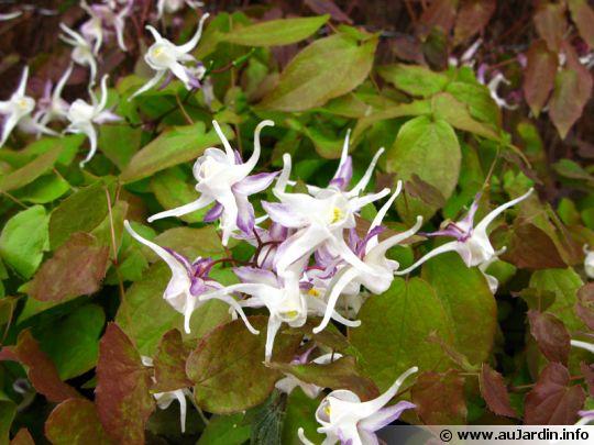un buisson en fleurs Epimed10