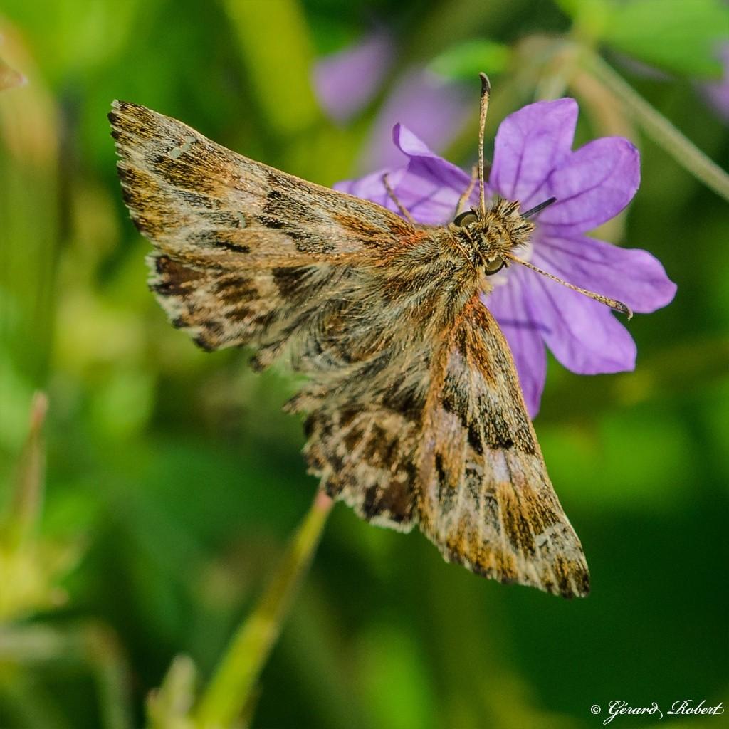 Macro insectes Indulgent (Sigma 105 mm f/2.8) Dsc_1410