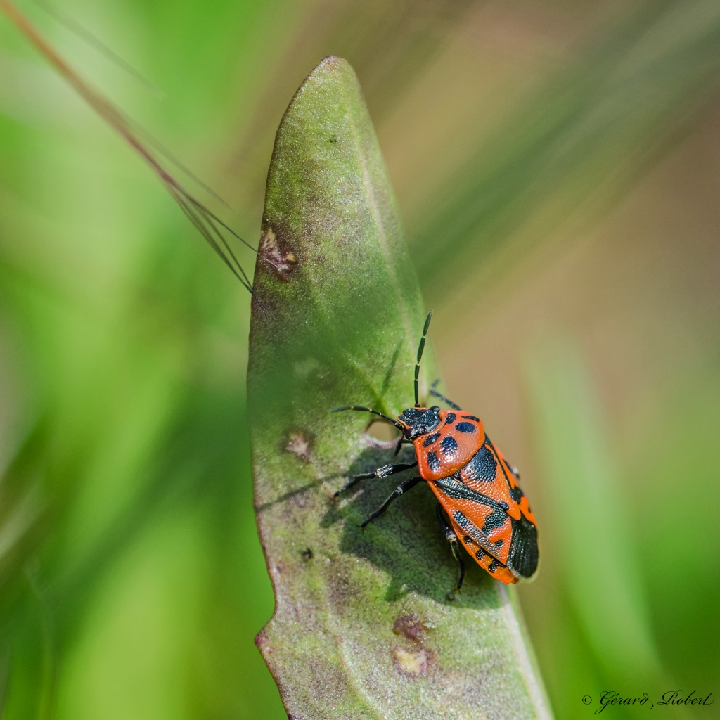Macro insectes Indulgent (Sigma 105 mm f/2.8) - Page 2 Dsc_1412