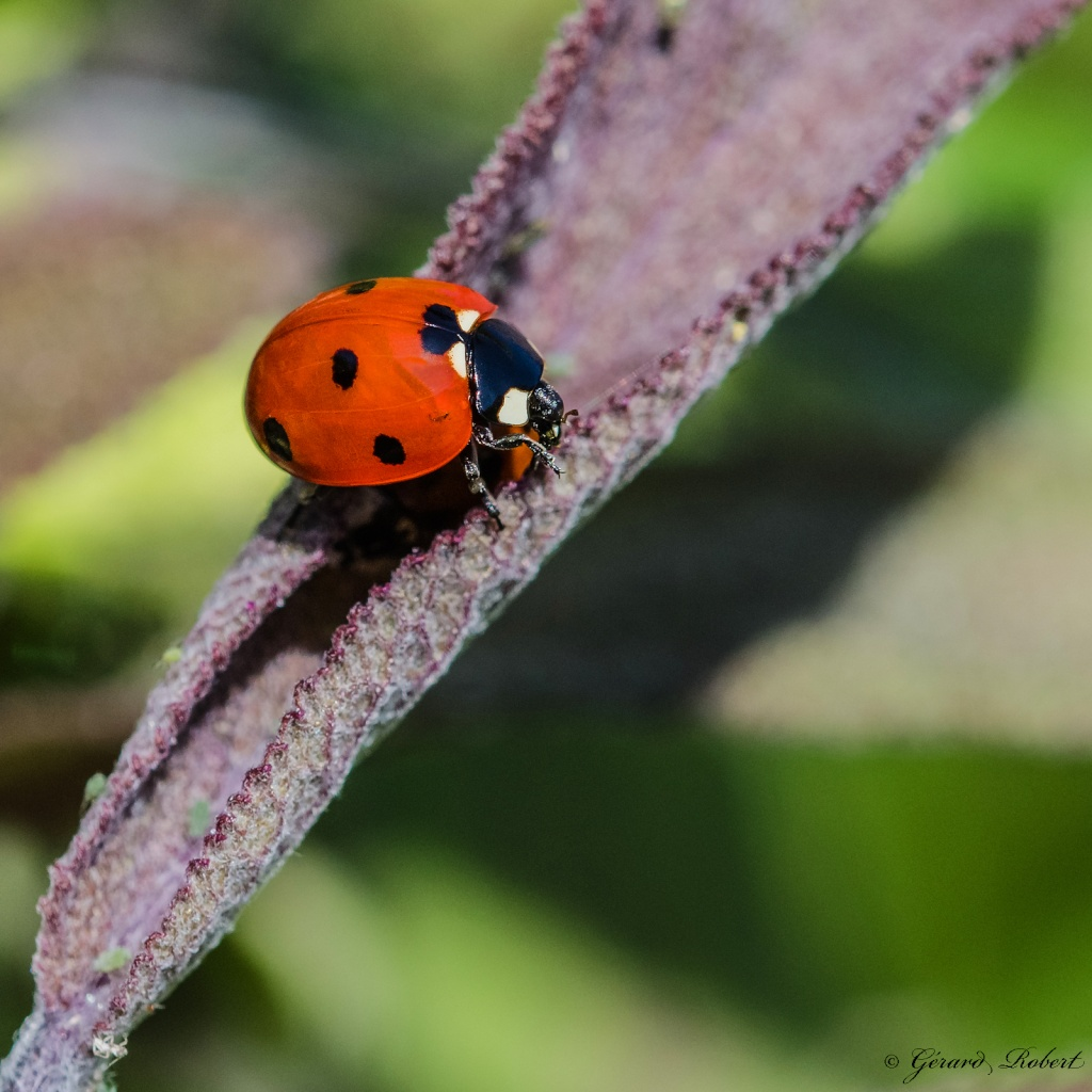Macro insectes Indulgent (Sigma 105 mm f/2.8) Dsc_1511