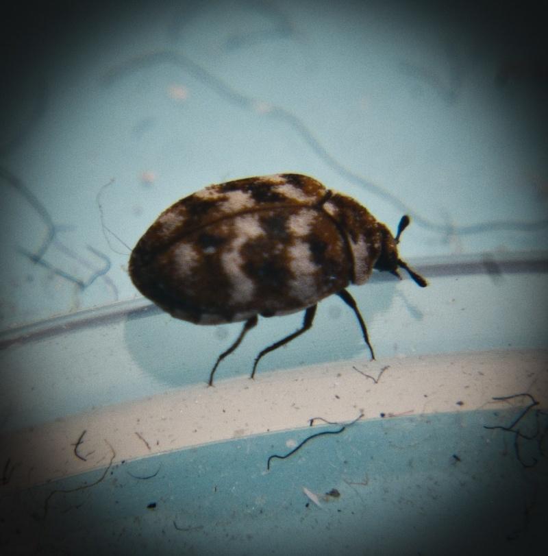 The notorious Varied Carpet Beetle Imgp8911
