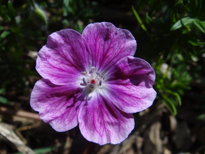 pour les amoureux des géraniums vivaces - Page 3 Dsc02247