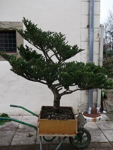 la passion du bonsai - Page 3 Dscf3629