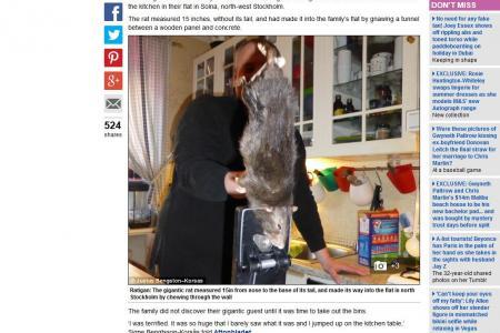 Un rat géant sème la terreur dans un appartement de Stockholm 32190310