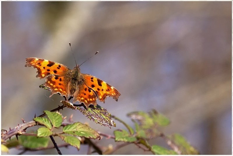 Un papillon Img_1315