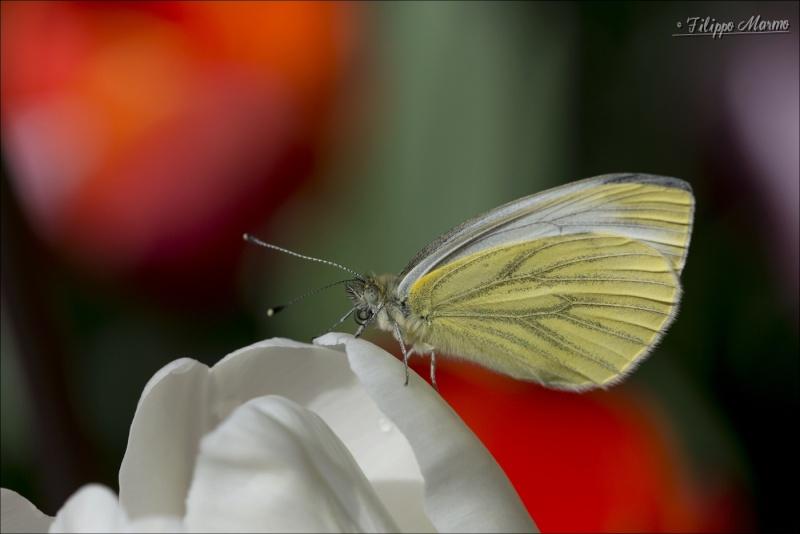 Le mie macro ( con Sigma 105 f/2.8 ) : insetti e non solo ... Fil_0412