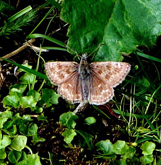 Premières observations de papillons en 2014 - Page 3 P1070313