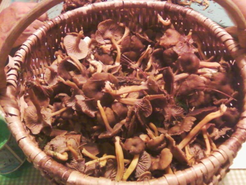 champignons trouvé par moi (coutolien) ... - Page 3 Photos47