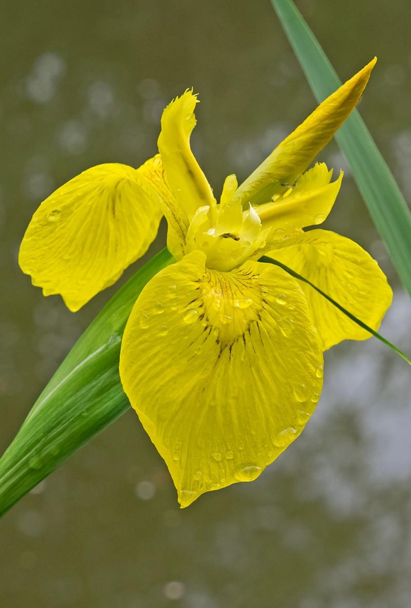 fiore giallo _4210010