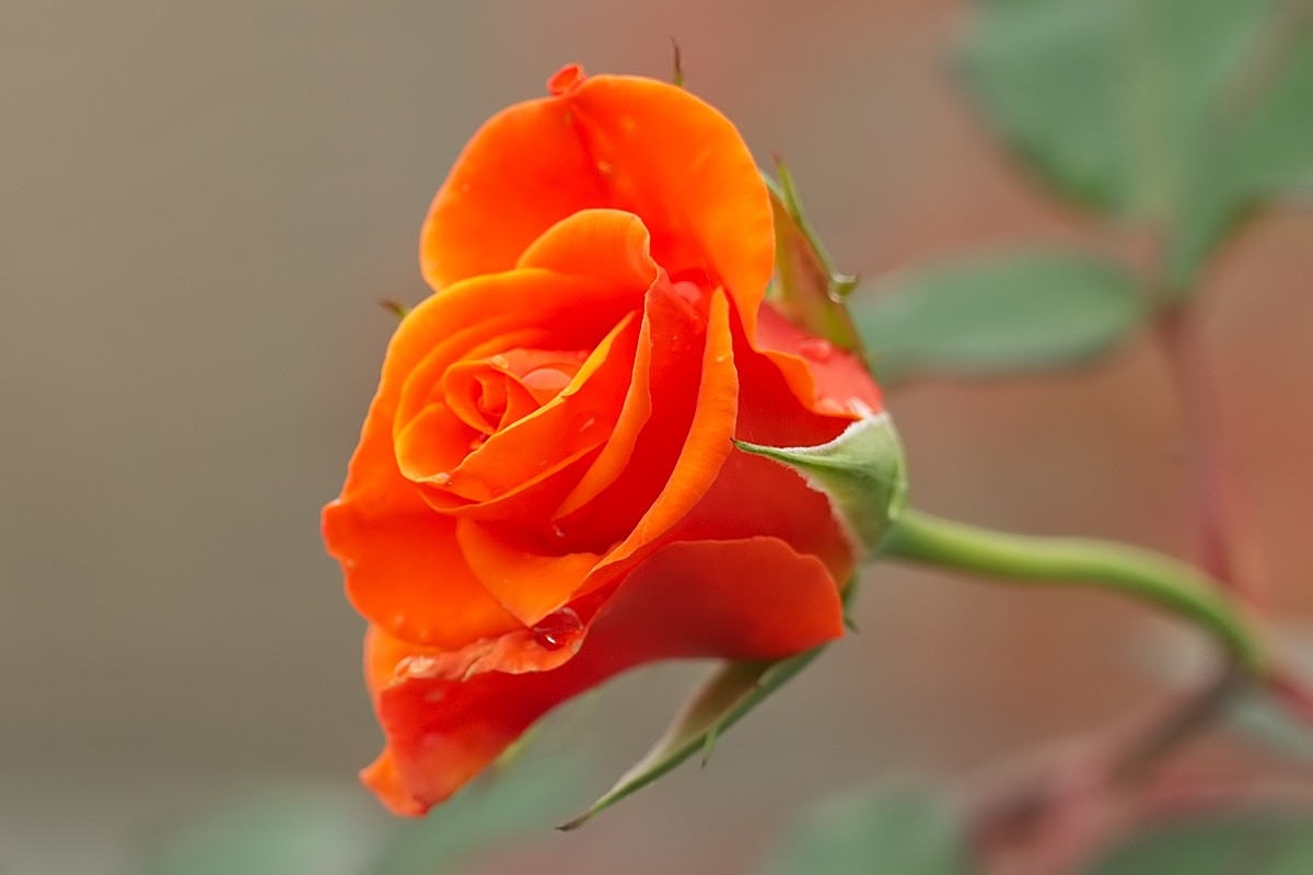 rosa  rossa Ed9f7911