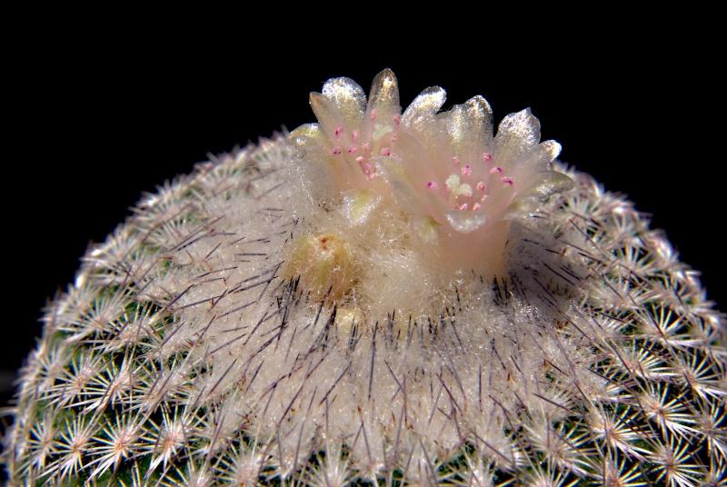 Epithelantha polycephala Imgp4511