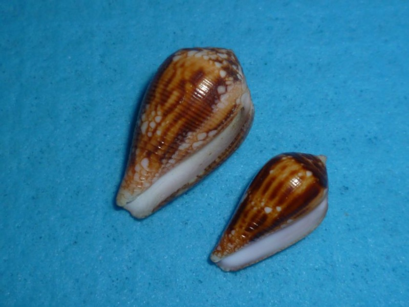 Conus (Cylinder) retifer   Menke, 1829 P1090526