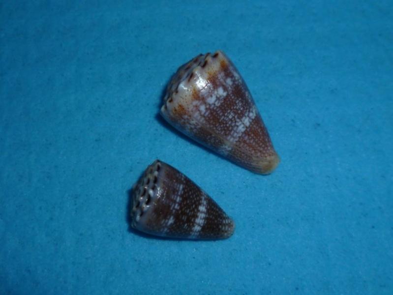 Conus (Virroconus) encaustus Kiener, 1845 P1090530