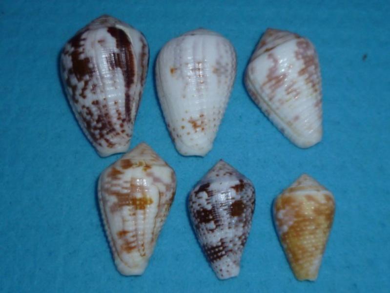Conus (Pionoconus) catus   Hwass in Bruguière, 1792 - Page 3 P1090535