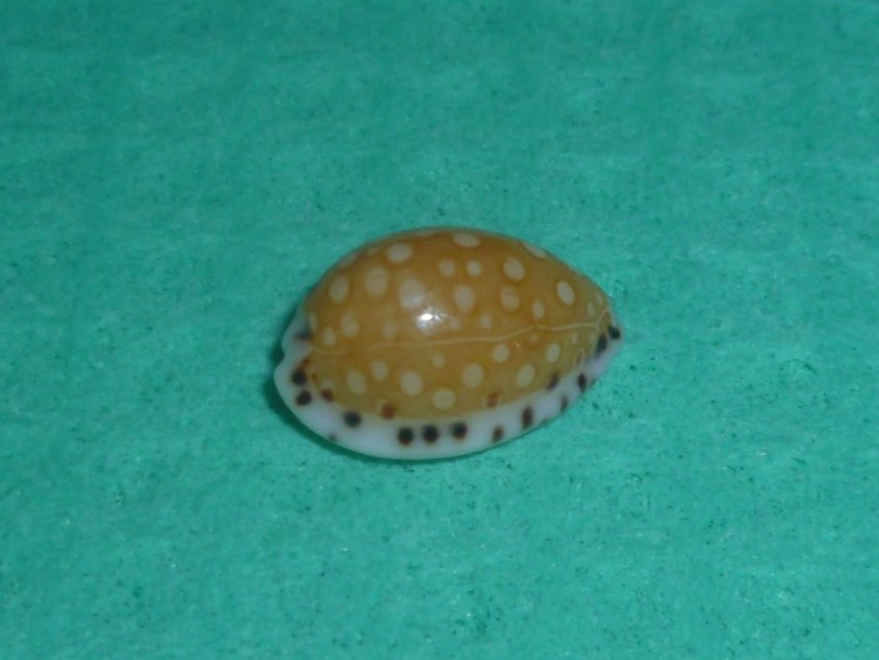 Cribrarula garciai - Lorenz & Raines, 2001 P1090615
