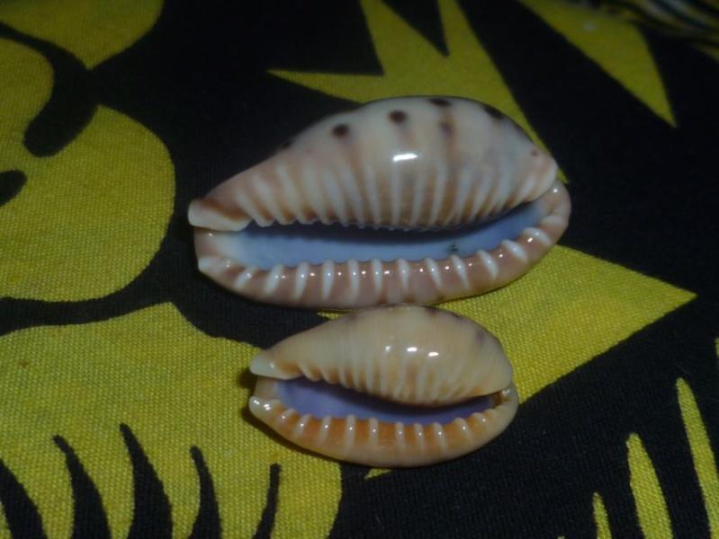 Erronea caurica samoensis - Lorenz, 2002 P1090710