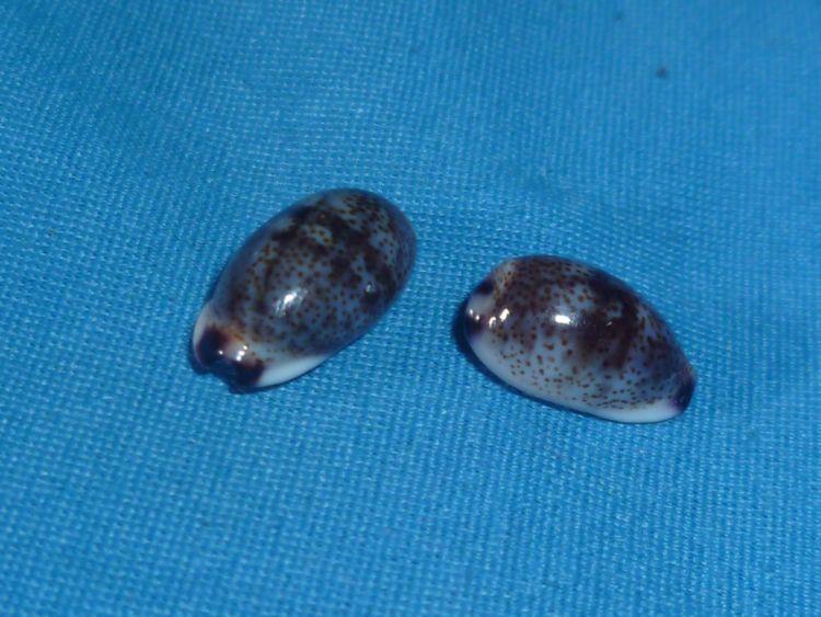 Purpuradusta fimbriata marquesana - Lorenz, 2002 P1100513
