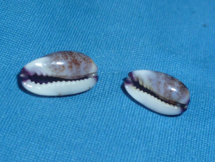 Purpuradusta fimbriata marquesana - Lorenz, 2002 P1100515