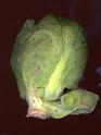 chou choux chou... Brassica oleracea Brassi12