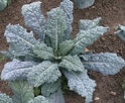 chou choux chou... Brassica oleracea Brassi15