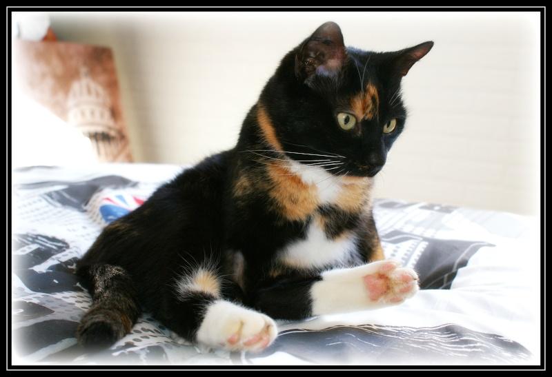 GHANIA, chatte européenne tricolore, née le 01/01/2011 110