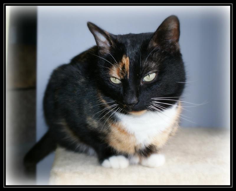 GHANIA, chatte européenne tricolore, née le 01/01/2011 1210