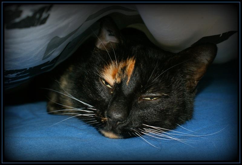 GHANIA, chatte européenne tricolore, née le 01/01/2011 1410