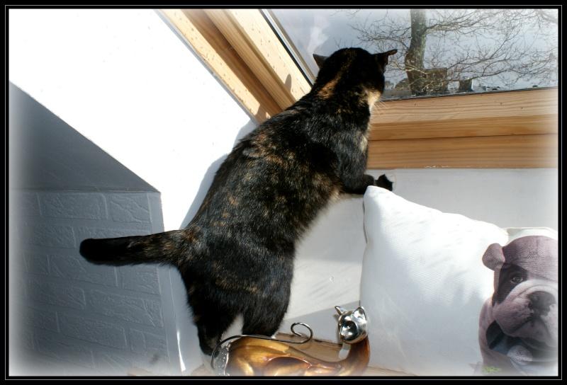 GHANIA, chatte européenne tricolore, née le 01/01/2011 1510