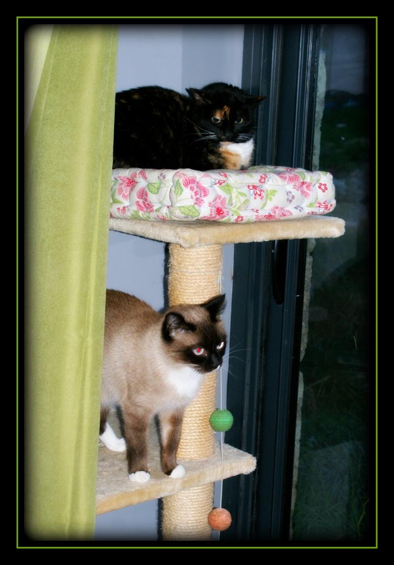GHANIA, chatte européenne tricolore, née le 01/01/2011 20140310