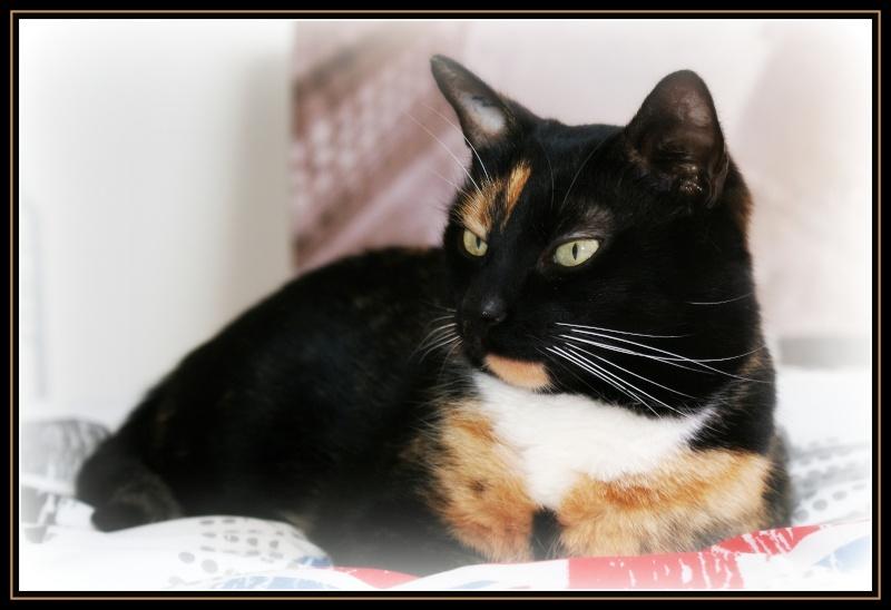GHANIA, chatte européenne tricolore, née le 01/01/2011 210
