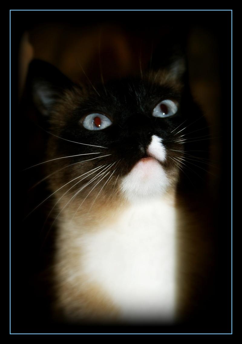 GHANIA, chatte européenne tricolore, née le 01/01/2011 211
