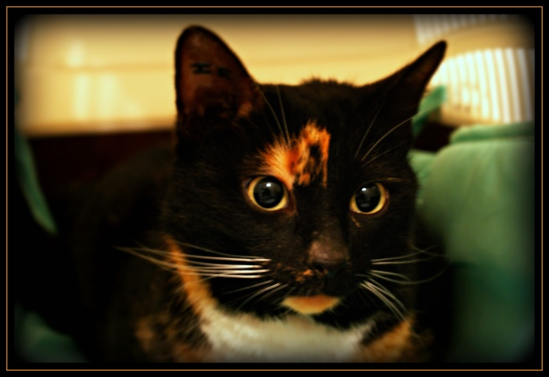 GHANIA, chatte européenne tricolore, née le 01/01/2011 310