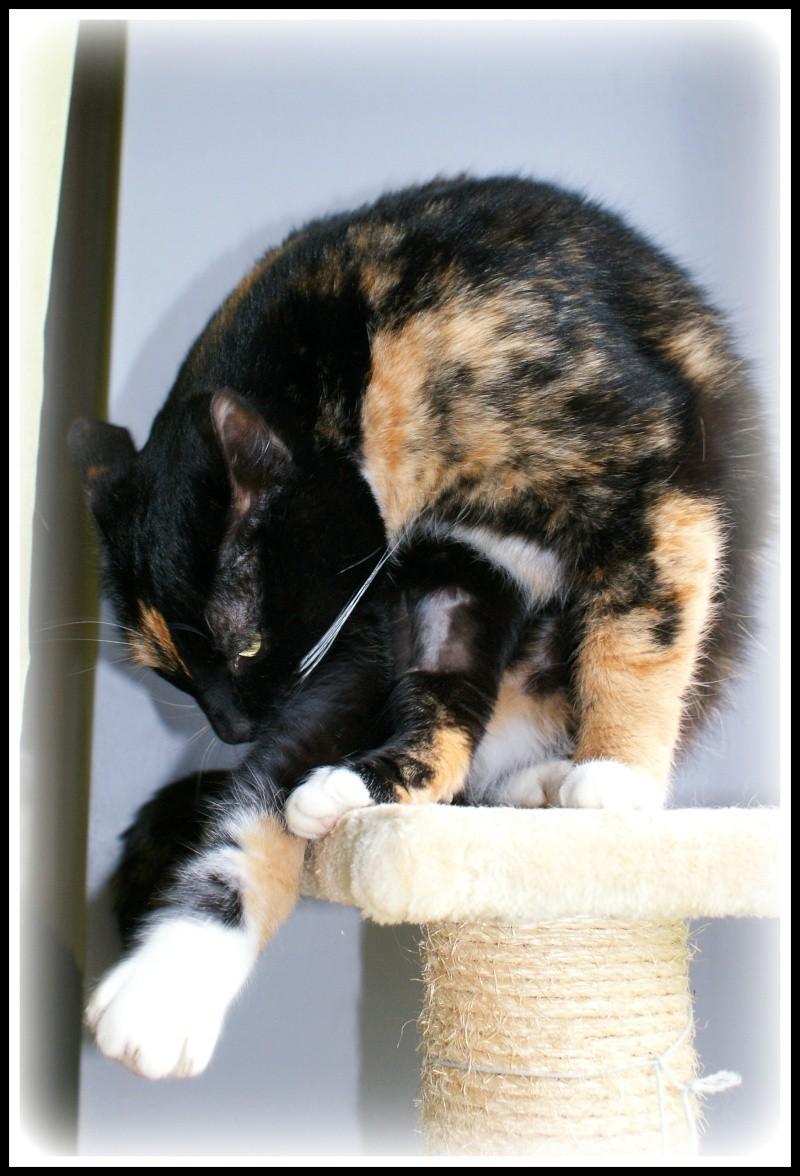 GHANIA, chatte européenne tricolore, née le 01/01/2011 810