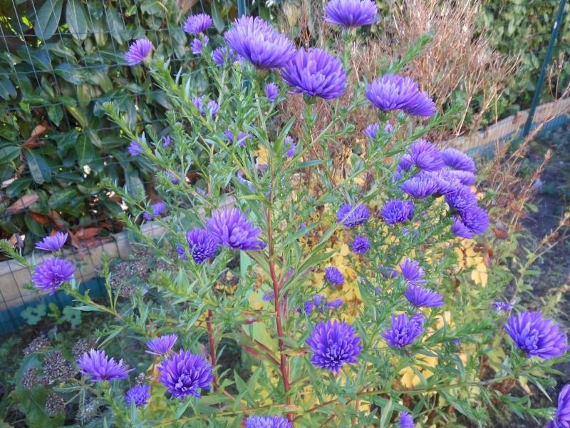 floraisons d'octobre - Page 9 Aster_10