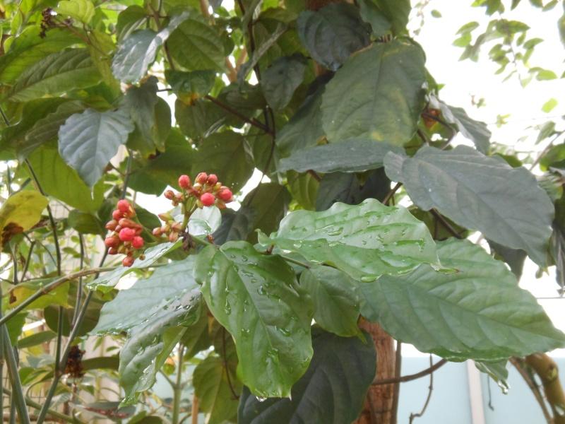 Le caféier  (Coffea arabica)-comme plante d'intérieur  Le caféier - Page 2 Cafeie10