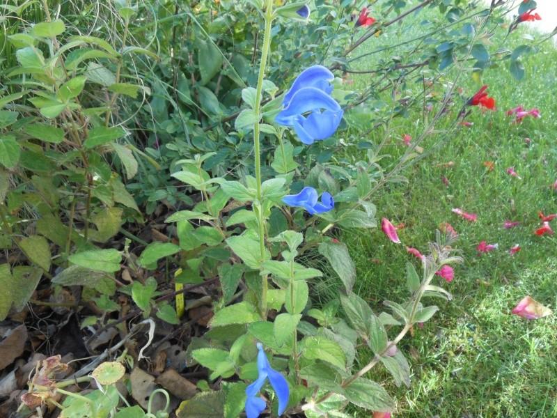 floraisons d'octobre - Page 9 Salvia10