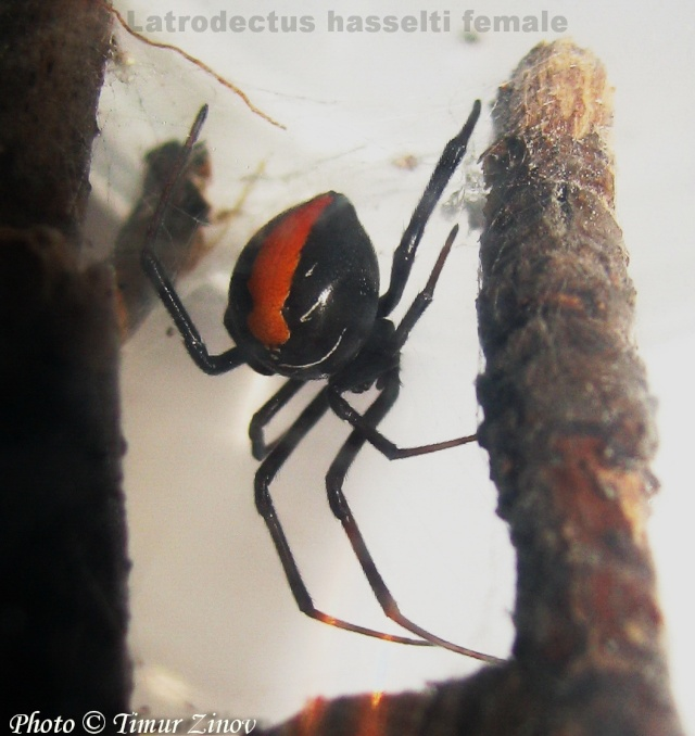 Latrodectus hasselti (Thorell, 1870) Australia H_hess10