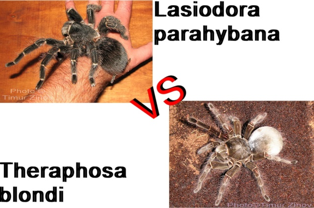 Lasiodora parahybana VS. Theraphosa blondi  Untitl10