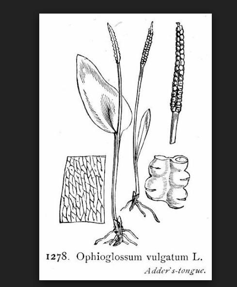La reproduction  des végétaux au carbonifère Captur11